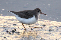 Spotted Sandpiper, 1st winter
