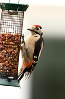 Great Spotted Woodpecker, juvenile