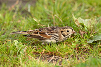 Lapland Bunting, Bryher