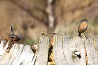 Dartford Warbler and Stonechat