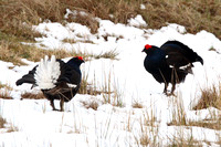 Black Grouse, males