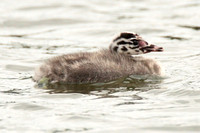 Great Crested Grebe - chick