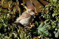 Syke's Warbler, Tresco 6 October 2012