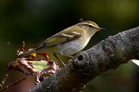 Yellow-Browed Warbler St Martins October 2012