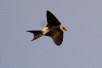 Red-Rumped Swallows, Marazion 6 October 2012