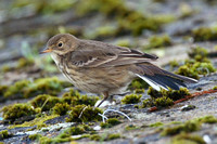 Buff-Bellied Pipit