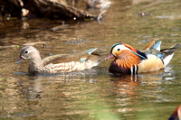 Mandarin, pair, Forest of Dean