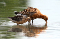 Long-Billed Dowitcher and Black-Tailed Godwit