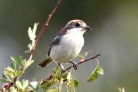 Woodchat Shrike, female