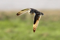 Short-Eared Owls, Aust Wharf 10 April 2012