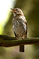 Song Thrush, male