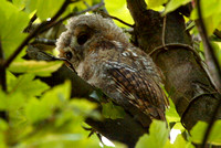 Tawny Owl, juvenile, South Glos