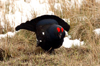 Black Grouse, male