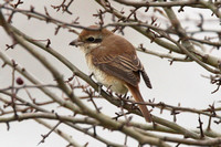 Brown Shrike, 1st winter, Staines