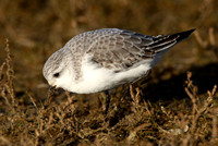 Sanderling, Norfolk