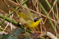 Yellowthroat Gwent 20 February 2012