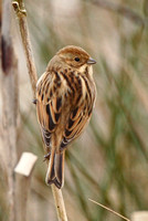 Reed Bunting, South Glos
