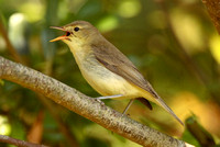 Melodious Warbler, St Martins