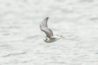White-Winged Black Tern, juvenile