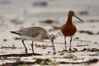 Bar-Tailed Godwit, Scilly
