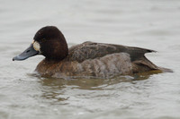 Lesser Scaup, 1st winter female, Slimbridge