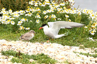 Common Tern adult and chick