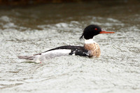 Red-Breasted Merganser, male, Exminster