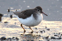 Spotted Sandpiper, first winter