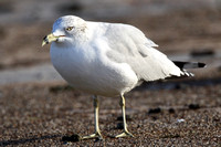 Ring-Billed Gull, 1st winter