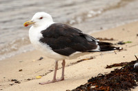 Great Black-Backed Gull, adult