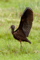 Glossy Ibis, Budleigh Salterton