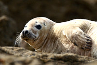 Common Seal, Yorkshire