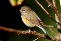 Red-Flanked Bluetail, St Martins