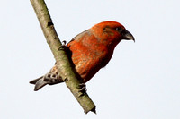 Crossbill, male