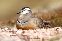 Dotterel, female