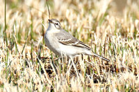 Eastern Yellow Wagtail