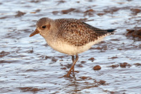 Grey Plover, Norfolk