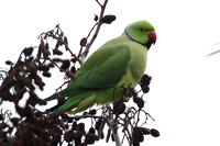 Ring-Necked Parakeet, Staines