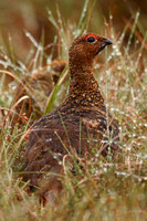 Red Grouse, male