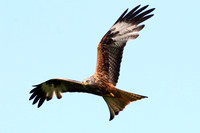 Red Kite mid Wales 31 May 2014