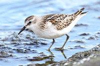 Little Stint, juvenile