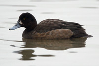 Scaup, 1st winter male, Slimbridge
