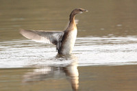 Pied-Billed Grebe, Greater Manchester