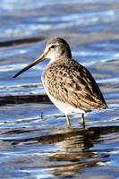 Long-Billed Dowitcher, 1st winter, Poole Park