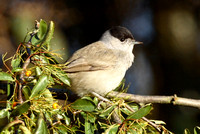 Blackcap, male, South Glos