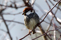 Spanish Sparrow, male