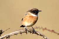 Stonechat, male