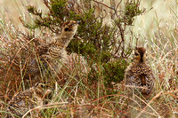 Red Grouse, chicks