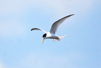 Little Tern, Norfolk