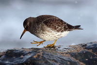 Purple Sandpiper, Cornwall
